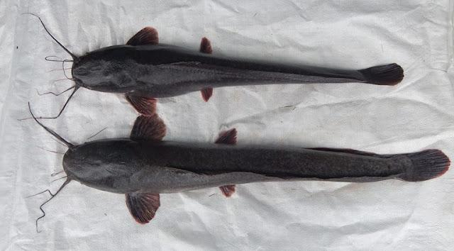 Jenis ikan lele mutiara
