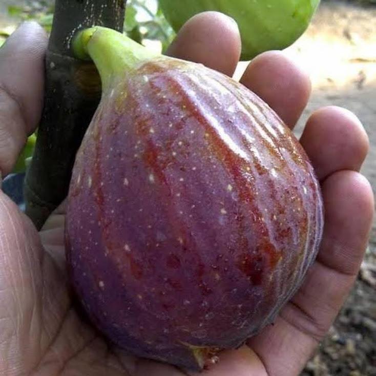 Bibit buah tin Blue GIANT Buah merah besar manis dan produktif Pekanbaru