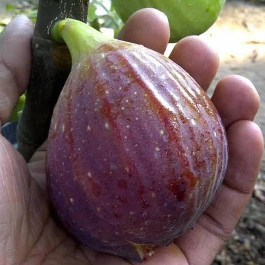 Bibit buah tin Blue GIANT Buah merah besar manis dan produktif Padang Sidempuan