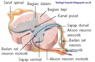 Medula Spinalis (Sumsum Tulang Belakang)