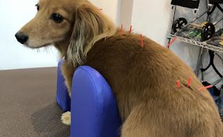 massagem em cães