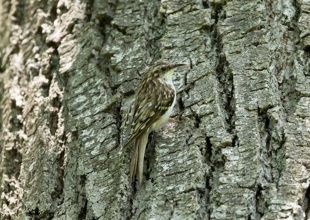 Brown Creeper - Oak Openings Preserve, Ohio, USA