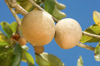 Health Benefits of Raw Sapodilla Fruit - 2
