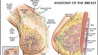 Mammography | History & Anatomy Of Breast