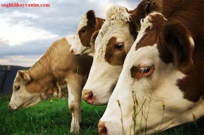 sığırlarda iç parazitlerle mücadele