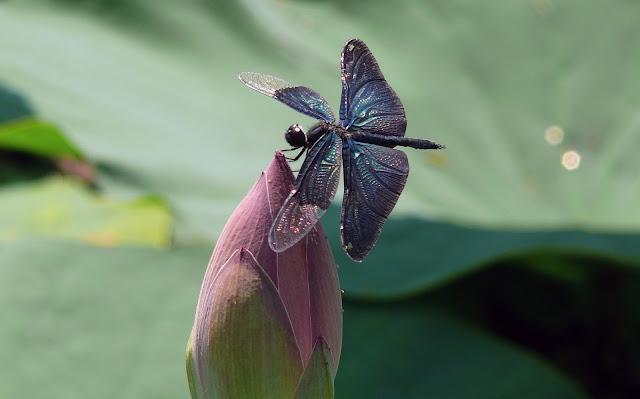ważka na lotosie symbol znaczenie pełnia życia