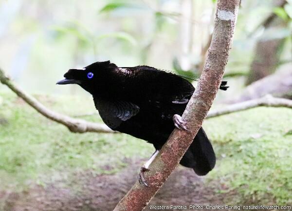Male Western Parotia - a black bird that dances like ballerina