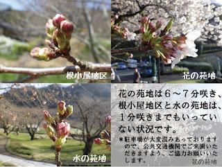 サクラ開花情報!第6弾