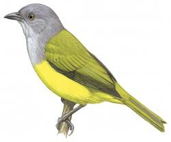 Golden-bellied Tanager
