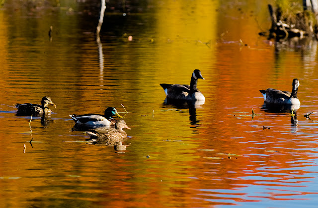 Not to be eaten, a protected wildlife center still has ducks and geese enjoying the warm pond decorated with reflections from the fall trees.