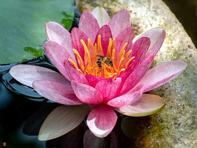Suiren (water lily) flower: Kita-kamakura