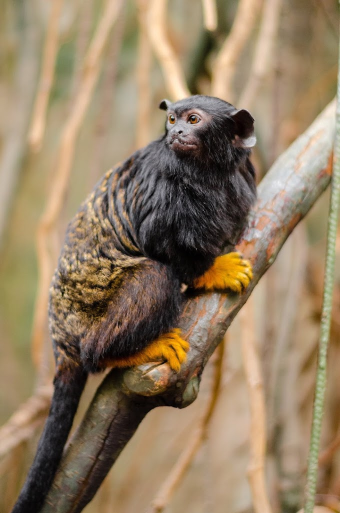 focus-photo-of-red-handed-tamarin