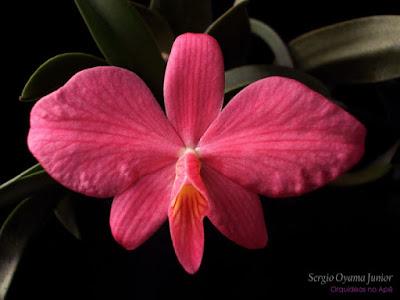 Orquídea Sophronitis wittigiana