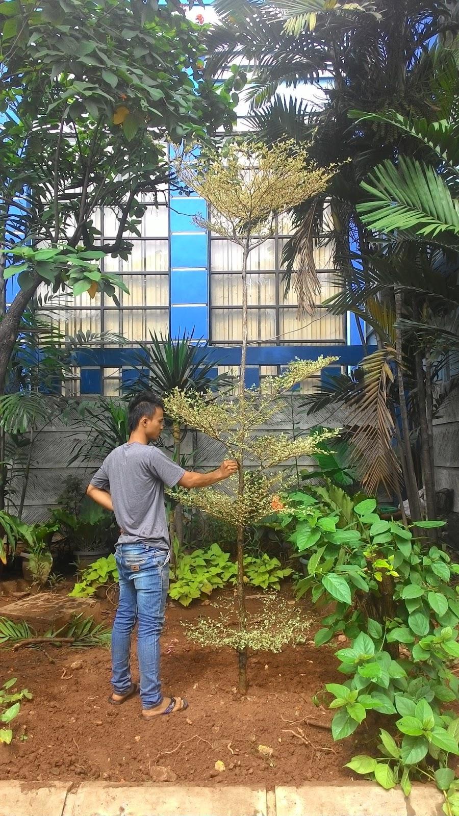 Jual Pohon Ketapang Kencana Daun Hijau Murah  Gambar