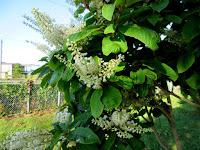 リョウブの白い花