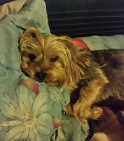 Katie is a Maltese Yorkie cross in Cape Town lying in her bed
