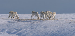 Caribou in winter in Newfoundland