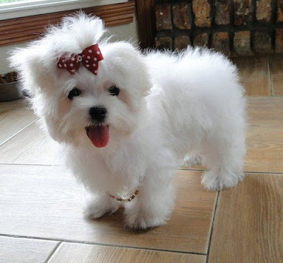 perro maltes toy