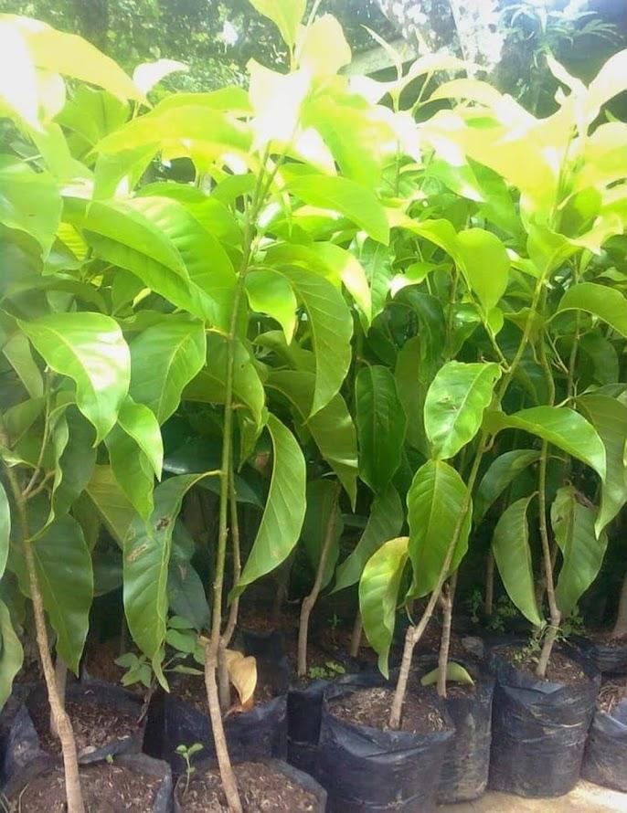 Bibit bunga kantil cempaka putih murah Sumatra Selatan