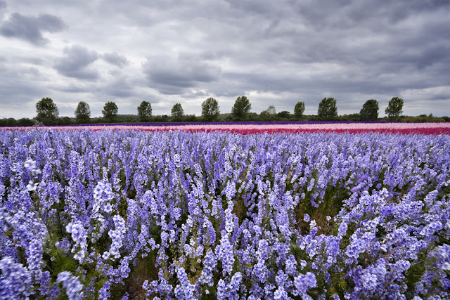 Rows of brightly coloured flowers as far as the eye can see under a stormy sky www.martynferryphotography.com
