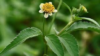 tanaman obat ketul