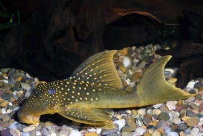 Ikan Sapu-Sapu Baryancistrus demantoides ( Pleco L200 )