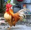 kelebihan dan kekurangan beternak ayam serama