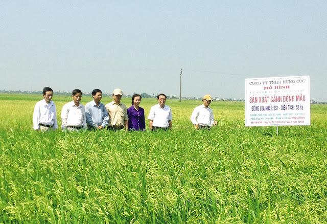 Cánh đồng mẫu trồng giống lúa Nhật