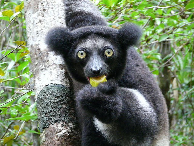 Words that Start and End with i Indri Lemur