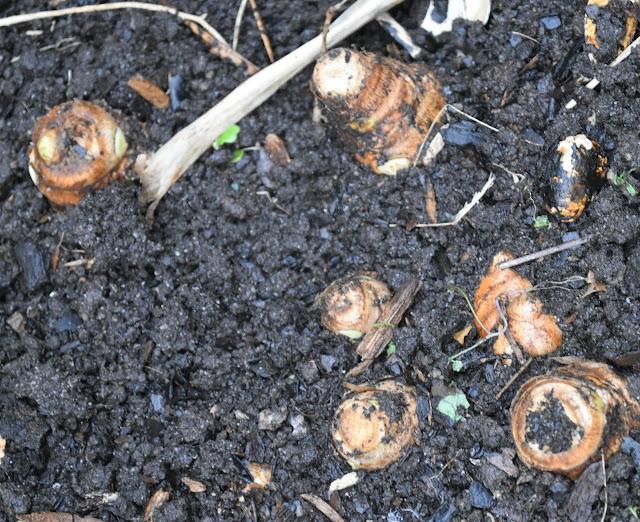 Homegrown turmeric rhizomes