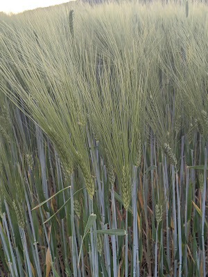 Getreidepflanzen