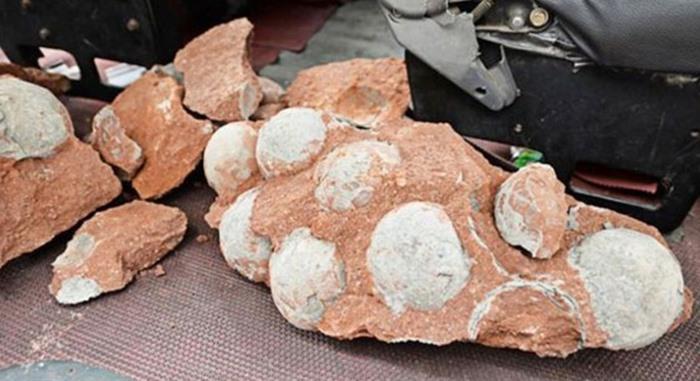 Fosil Telur Dinosaurus Usia 66 Juta Tahun - asione 1