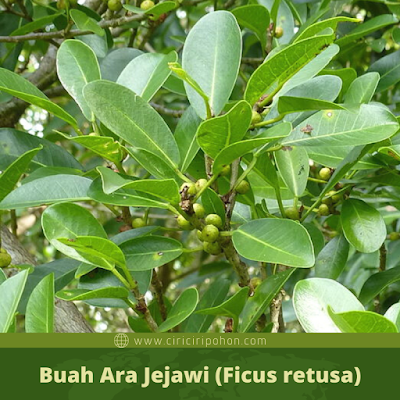 Ciri Ciri Buah Ara Jejawi (Ficus retusa)