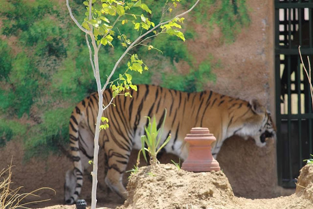 tiger in biological park nahargarh jaipur