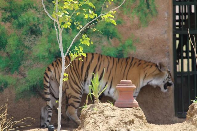 tiger in biological park nahargarh jaipur