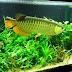 Tips Merawat Ikan Arwana dalam Akuarium