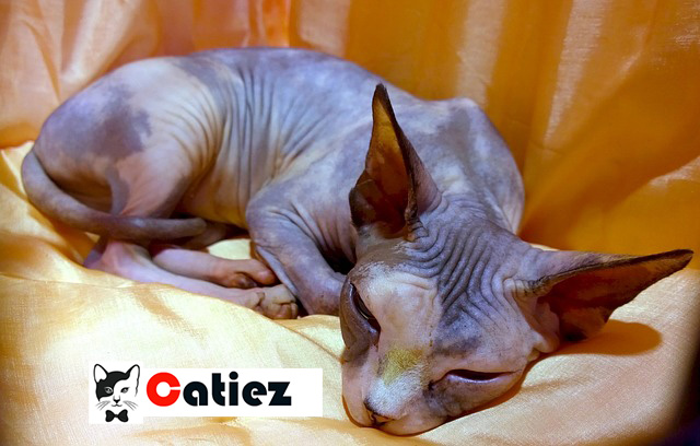 sphynx cat - all you want to know about sphynx cats