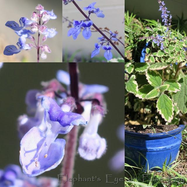 Plectranthus parviflorus Blue Spires from Australia