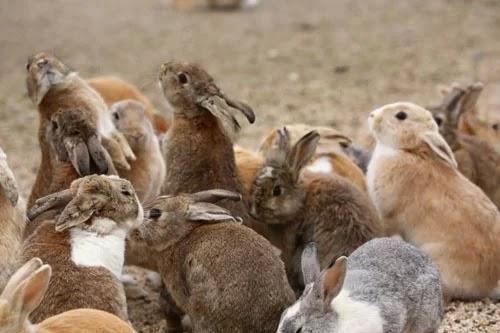 Interesting experiences on 'rabbit island' in Japan