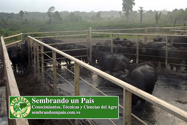 búfalos en corral empantanado