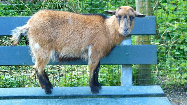 Bruine geit op bankje
