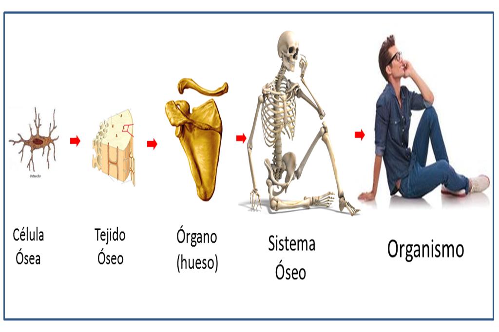 Célula Tejidos Órganos y Sistema