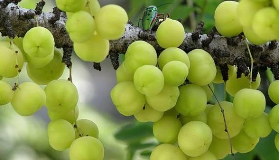 इस फल के सेवन से मजबूत होगा इम्युनिटी सिस्टम, नहीं होगा संक्रमण