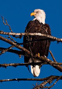 Bielik amerykański (Bald Eagle)