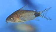 Jenis Ikan Corydoras guapore