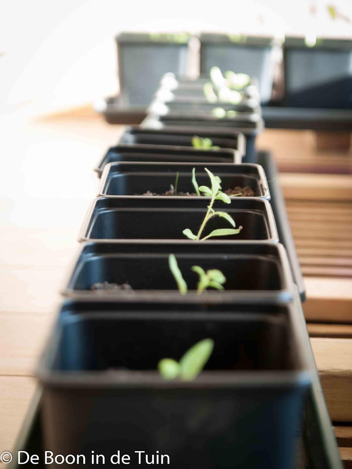 tomaten voorzaaien lente moestuin volkstuin