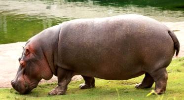 Foto de un enorme hipopótamo