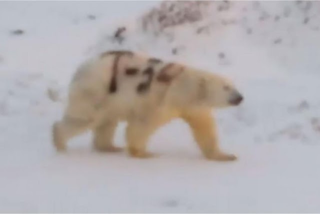 "#Mistery of ""T34 marked"" bear: #Russians spot polar bear painted in cryptic graffiti !"