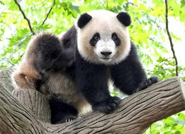 معلومات لا تعرفها عن الباندا حيوان أليف