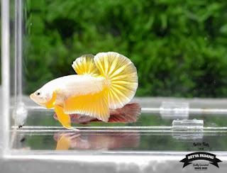 Jenis Jenis Ikan Cupang Plakat Di Dunia - Cupang Sehat